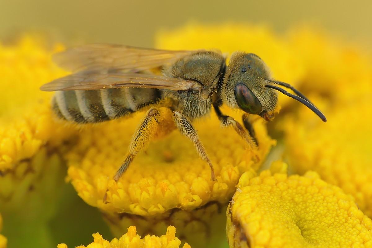 Nazwa:  pszczółka220780cf.jpg Wyświetleń: 74 Rozmiar:  147,2 KB