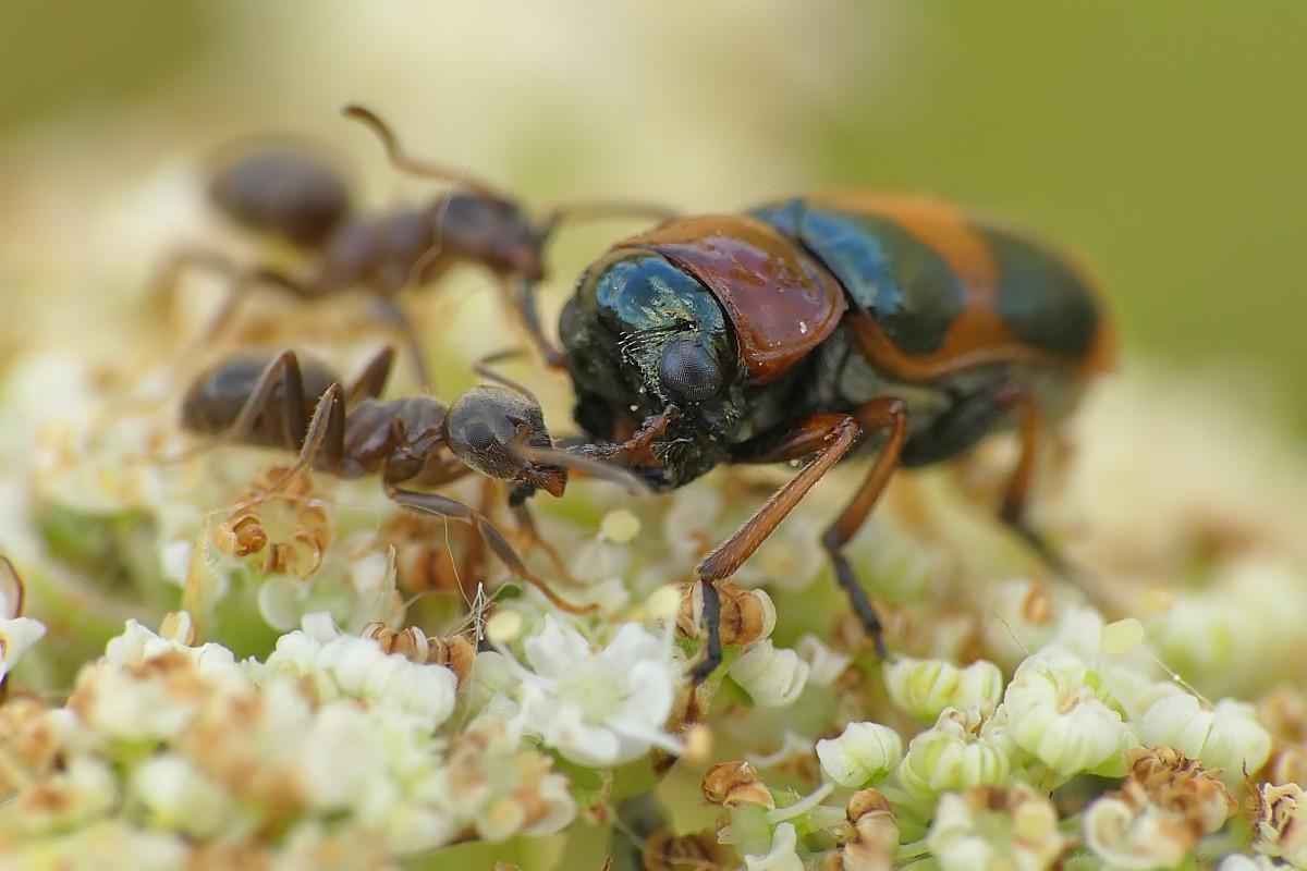 Nazwa:  Coptocephala222971cf.jpg Wyświetleń: 50 Rozmiar:  142,9 KB