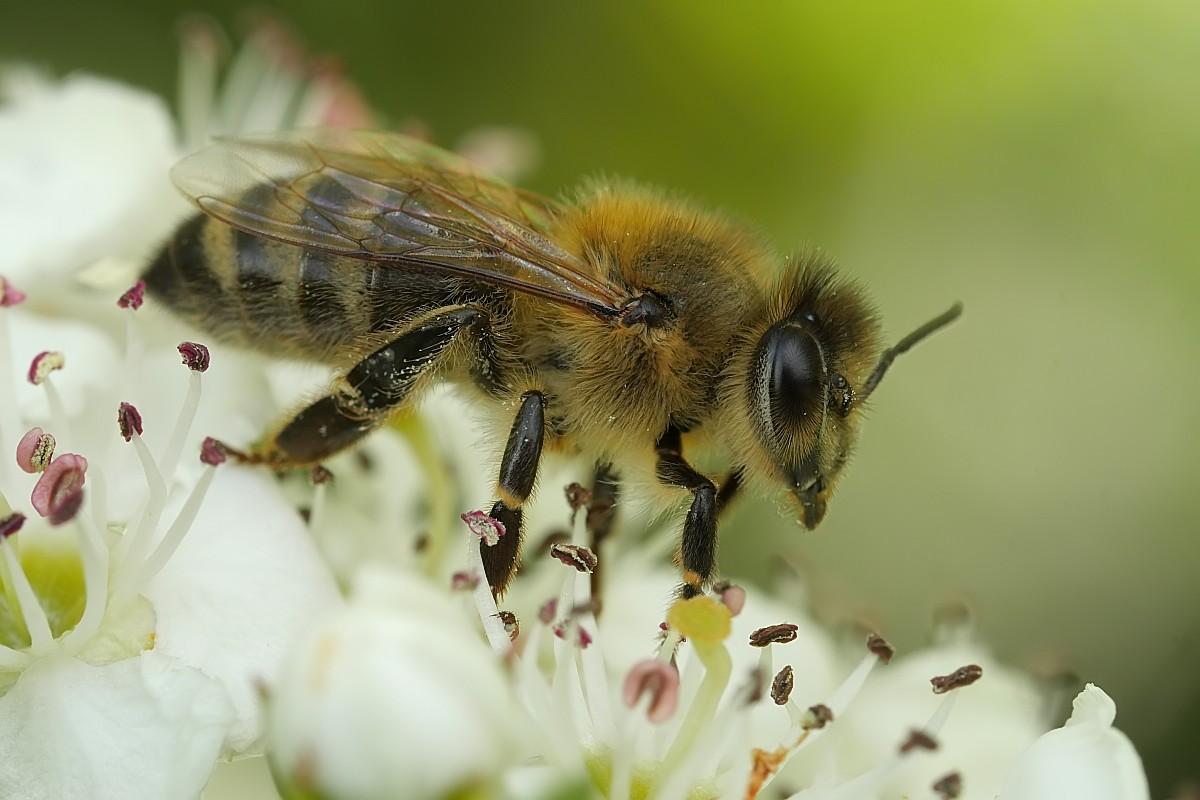 Nazwa:  pszczola29784gf.jpg Wyświetleń: 136 Rozmiar:  143,1 KB