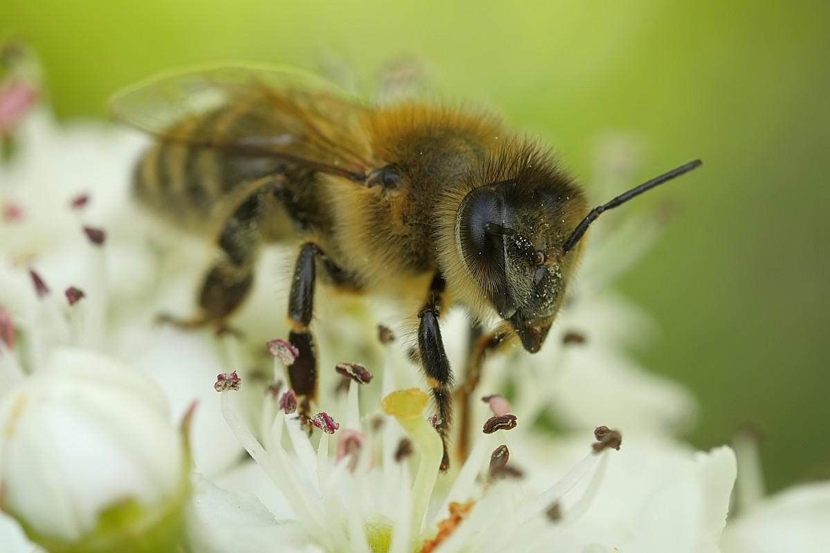 Nazwa:  pszczola29832gf.jpg Wyświetleń: 135 Rozmiar:  111,5 KB