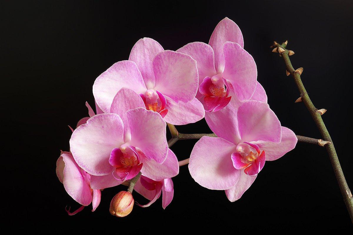 Nazwa:  phalaenopsis008643-72ef.jpg Wyświetleń: 122 Rozmiar:  122,4 KB
