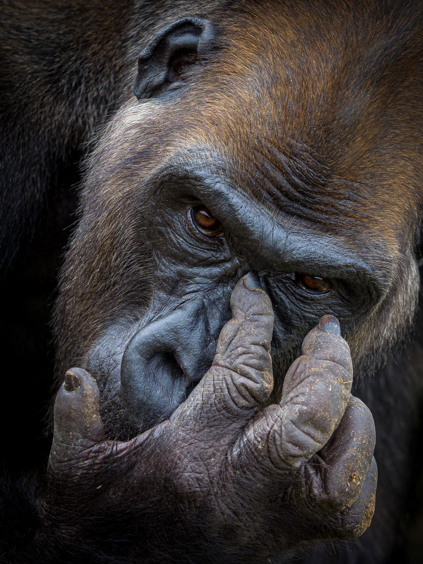 Kliknij obrazek, aby uzyskać większą wersję  Nazwa:20190930_gorilla_hand_001.jpg Wyświetleń:212 Rozmiar:1,31 MB ID:217009