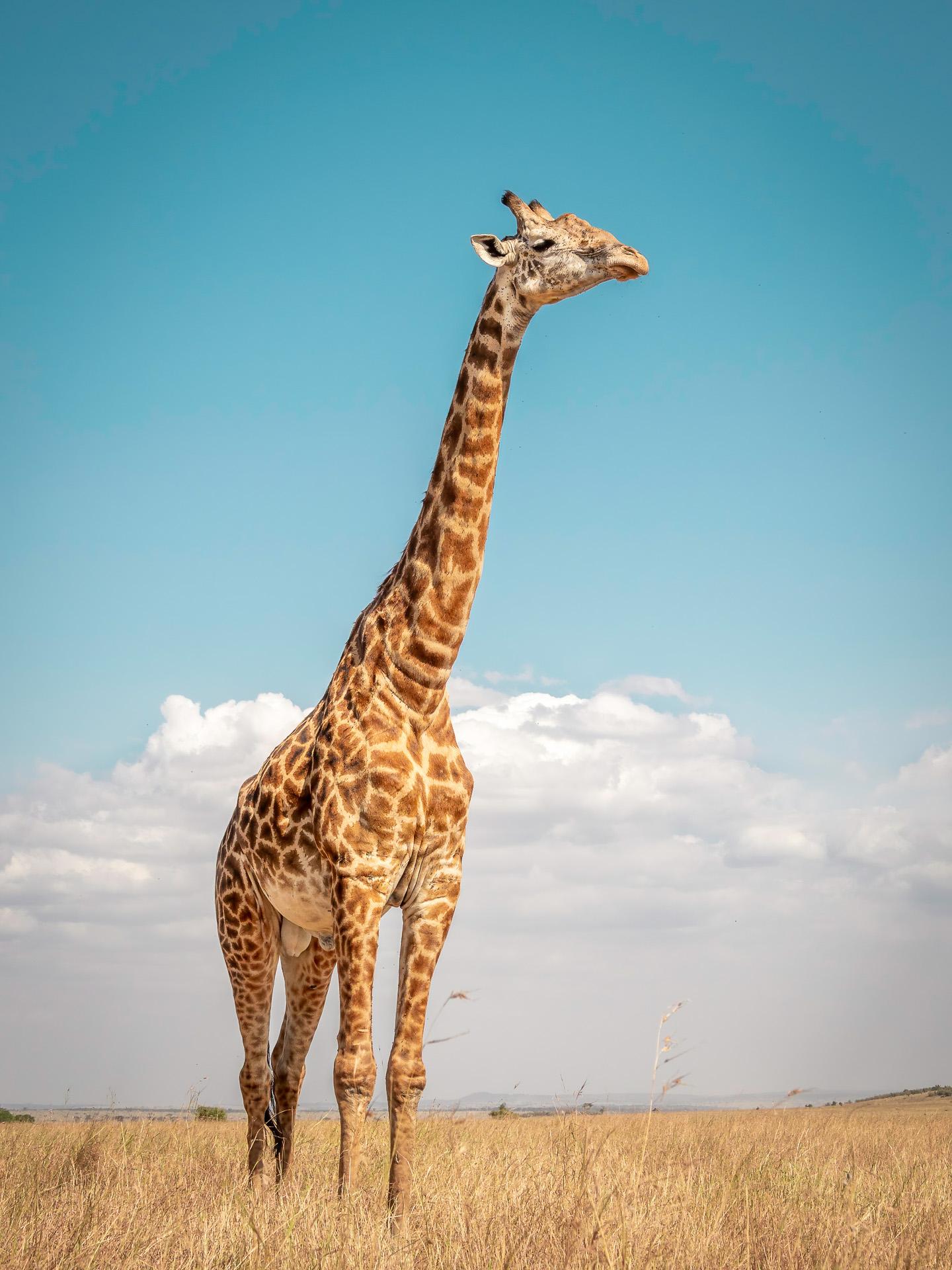Kliknij obrazek, aby uzyskać większą wersję  Nazwa:20190815_żyrafa_001.jpg Wyświetleń:61 Rozmiar:581,8 KB ID:232990