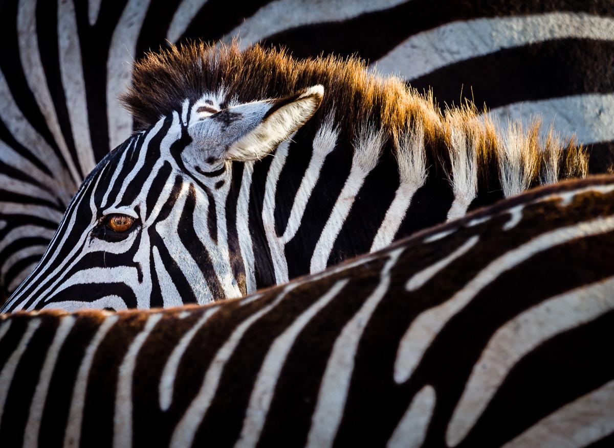 Kliknij obrazek, aby uzyskać większą wersję  Nazwa:zebra_ngorongoro_003.jpg Wyświetleń:86 Rozmiar:476,9 KB ID:197694