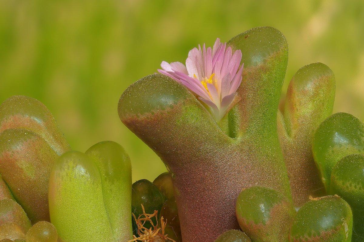 Nazwa:  Ophthalmophyllum013851-72ef.jpg Wyświetleń: 69 Rozmiar:  271,8 KB