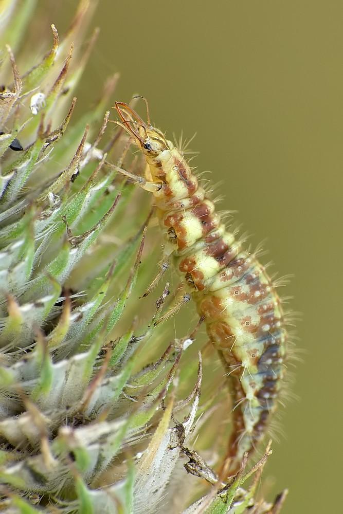 Nazwa:  larwa zlotooka123598cf.jpg Wyświetleń: 69 Rozmiar:  149,4 KB