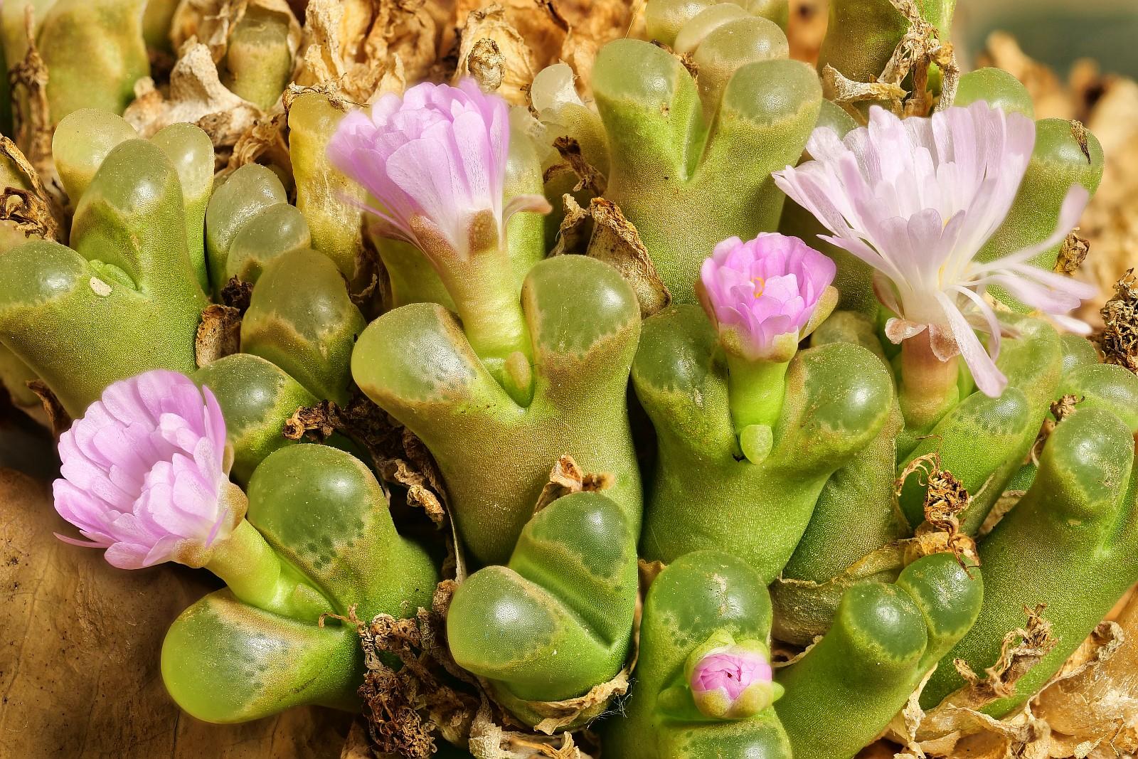 Nazwa:  Opthalmophyllum73657-66d.jpg Wyświetleń: 29 Rozmiar:  695,2 KB