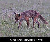 Kliknij obrazek, aby uzyskać większą wersję  Nazwa:Nocny lis.jpg Wyświetleń:67 Rozmiar:597,2 KB ID:212295