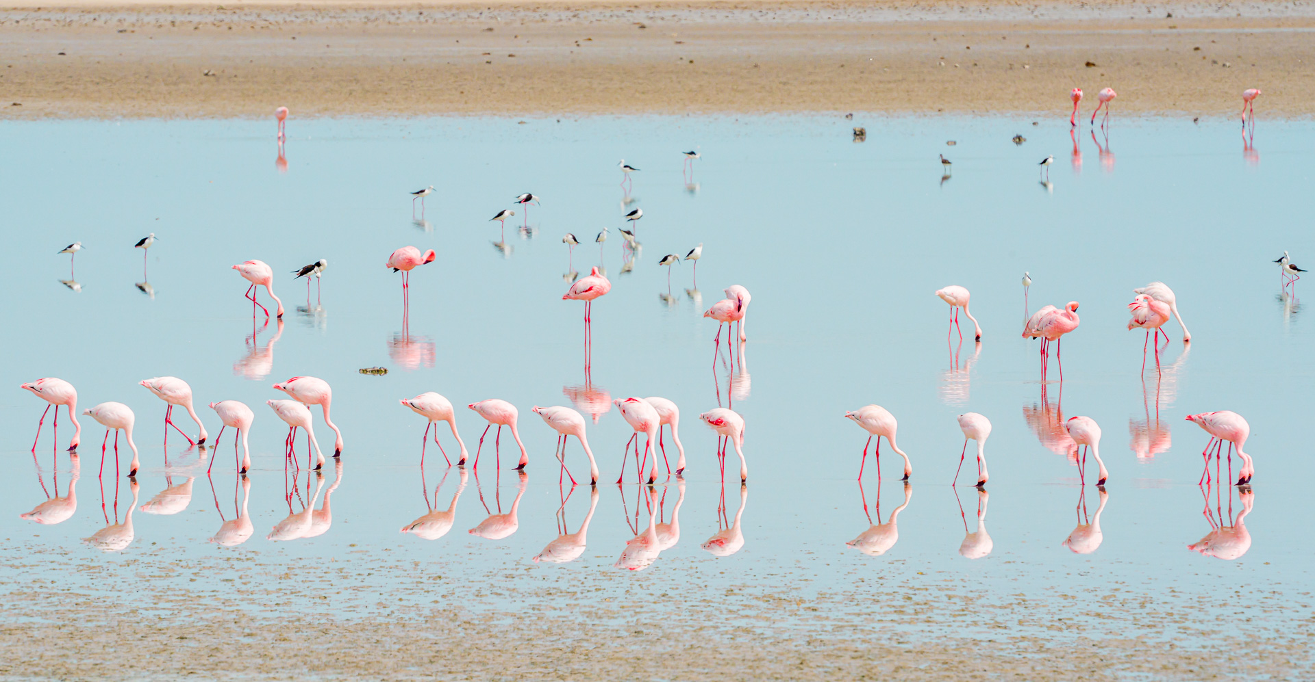 Nazwa:  20200119_Lesser_flamingo_001.jpg Wyświetleń: 117 Rozmiar:  562,0 KB